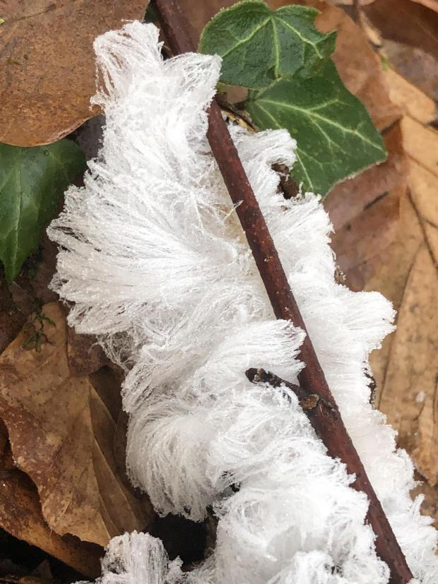 South West Farmer: Hair Ice found in woods near Chard. Pic: Ingrid from Floweringi