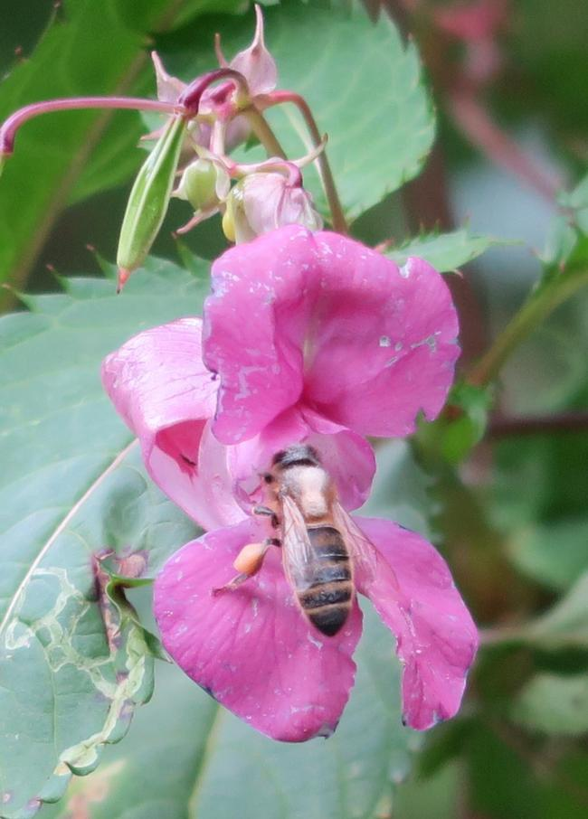 Honey bee on Himalayan balsam. Photo: Tom Seeley