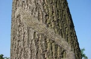 Tighter measures to protect against oak processionary moth
