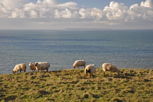 Sheep on Baggy Point in North Devon