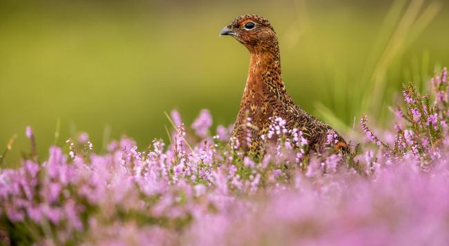 Labour is calling for a review of grouse shooting