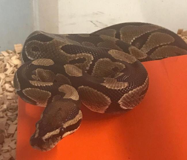 4ft-long royal python found at RSPB Radipole Lake in Weymouth Picture: RSPCA