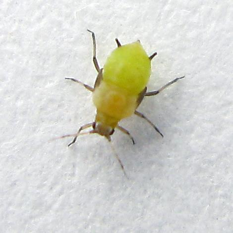 Aphid. Picture: Jacopo Werther. https://commons.wikimedia.org/wiki/File:Aphid_-_12_April_2017.jpg