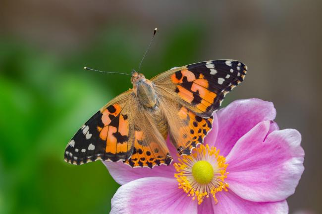 Painted Lady. Picture: Andrew Cooper, Butterfly Conservation