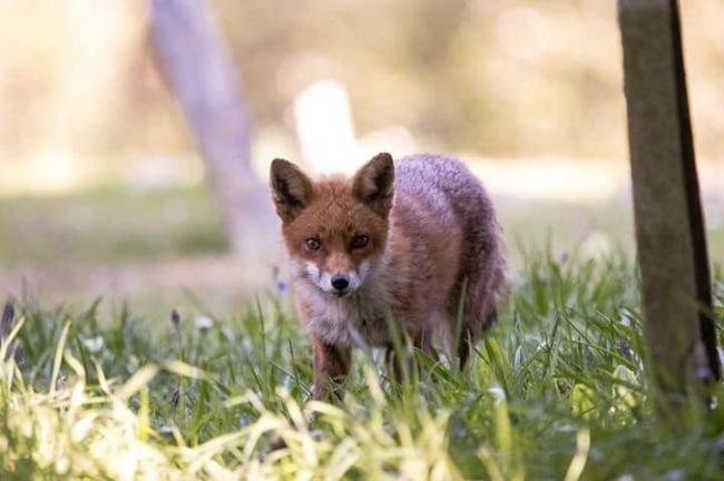 A fox cub watching the camera. Picture: Chris Hobbs
