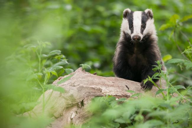 Culling badgers drives them 61% further afield
