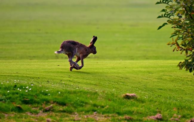 Hare coursing involves letting dogs chase and kill hares
