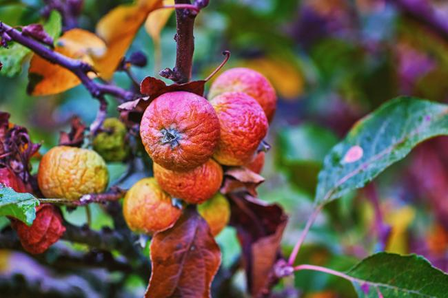 Colourful rotten apples in autumn.