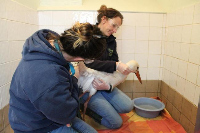 RESCUED: Georgia and Amy from Secret World Wildlife Rescue examine Daisy