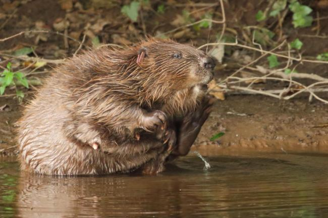 A female beaver. Picture: Michael Symes/Devon Wildlife Trust/PA Wire