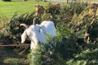 Goats at Fancy's Family Farm on Portland chow down on Christmas trees donated from The Dancing Goat in Poole