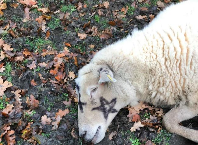 The ewe found marked with pentagrams