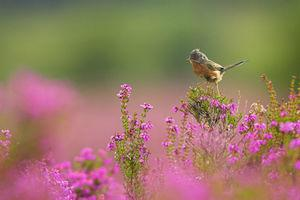 The Dartford Warbler is one of the species that will benefit from the money being spent at Stoborough