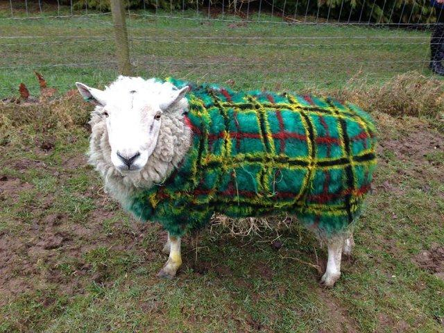 One of the sheep from Auchingarrich Wildlife Park