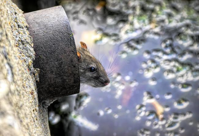 The online guide offers advice on tackling rats