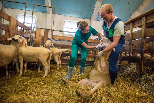 Consider all options before castrating young rams, say vets