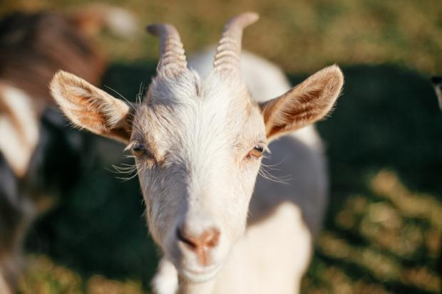 Goat (agency picture)
