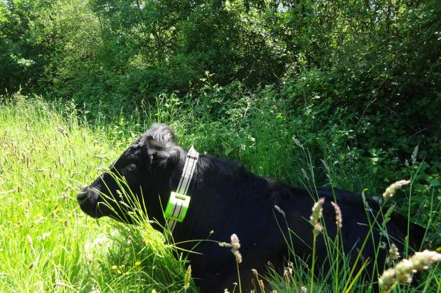 One of the six cows fitted with a GPS collar