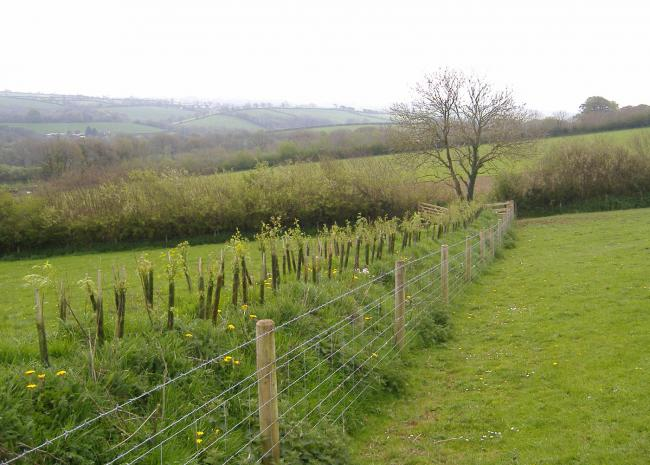 A new hedge at Wonnacott Farm. Picture: Rosie Yells