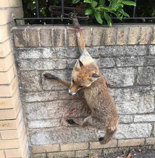 The fox, trapped. Picture: RSPCA