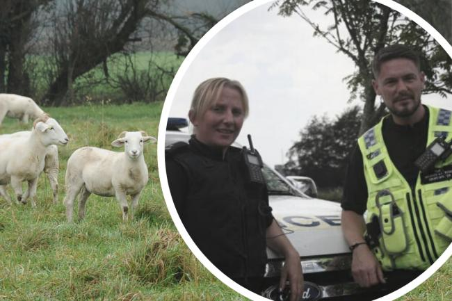 Inset: PC Thomas and PC Jackson Main picture: a flock of sheep Picture: TREVOR PORTER