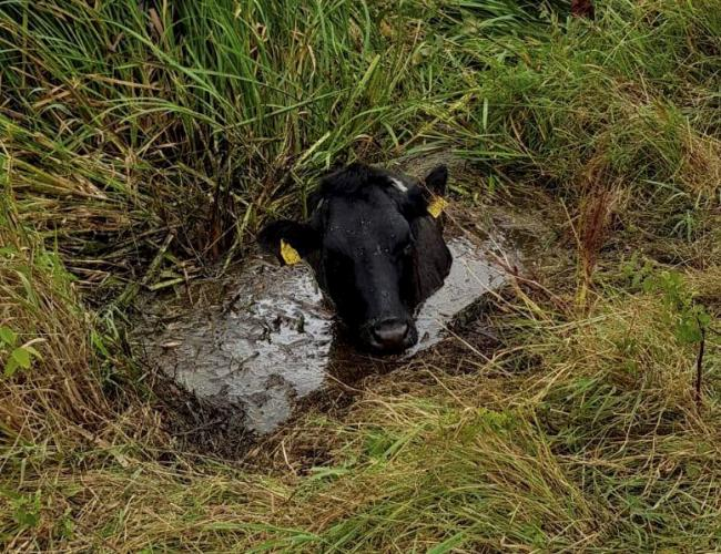 The cow was up to her neck in three feet of mud. Picture: Nailsea Firefighters / SWNS.com