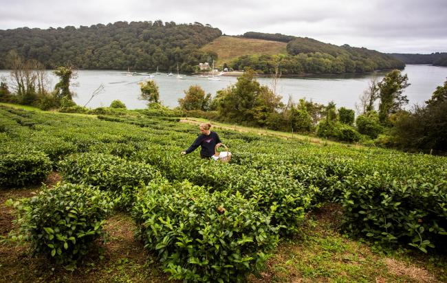 A new tea garden is harvested for the first time by gardner Gemma Boothroyd at the Tregothnan Estate. Picture: James Dadzitis/SWNS