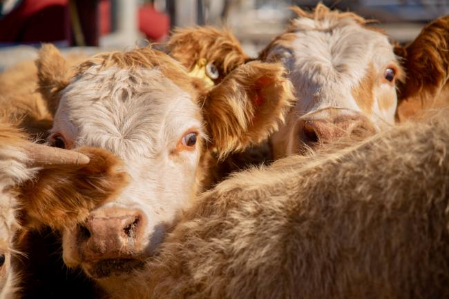 Cattle in stall, stock image