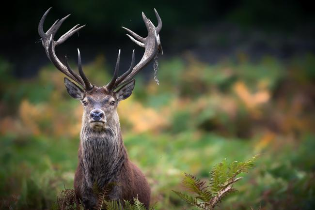 Police are warning that poachers are hunting a prize stag in the Overcome area