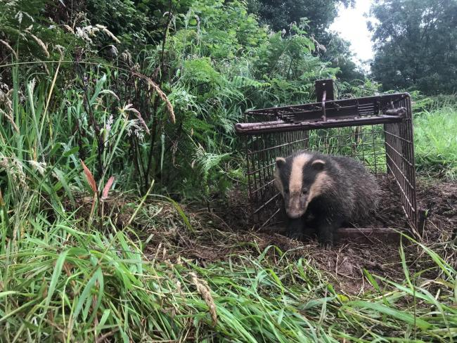 Badger being vaccinated. Picture: Tom Shelley