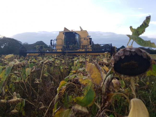 The sunflowers being harvested. Picture: Muddy Marketing