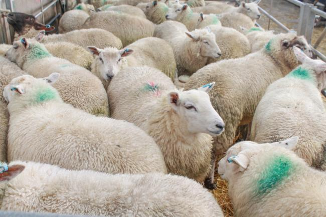 Sheep in pen, stock image