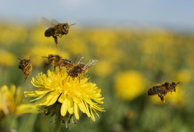 The pesticide is banned in Europe because of its danger to bees
