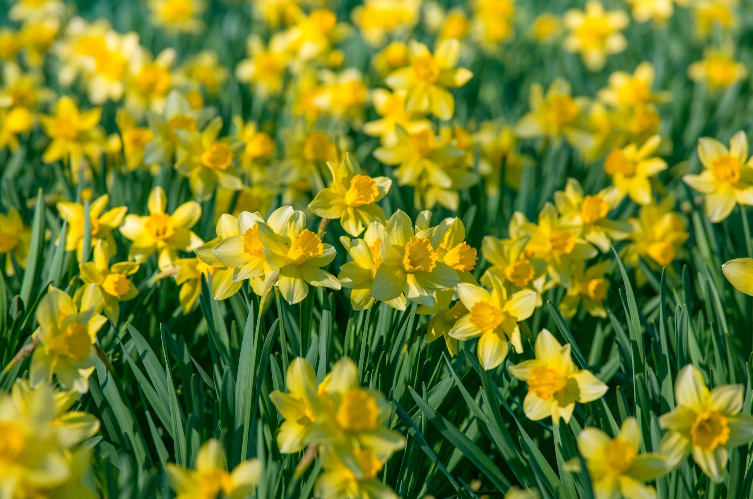 Varfell Farm is described as the largest and leading grower of daffodils in the world Picture from file: PA Images
