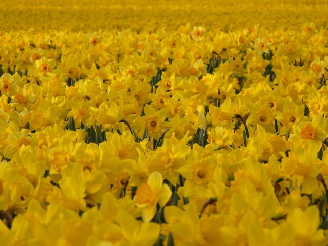 A daffodil farm at Long Rock has been granted planning permission for 49 caravans for staff