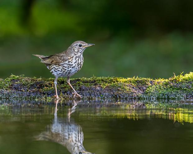 South West Farmer: A song thrush. Picture: Andy Morffew