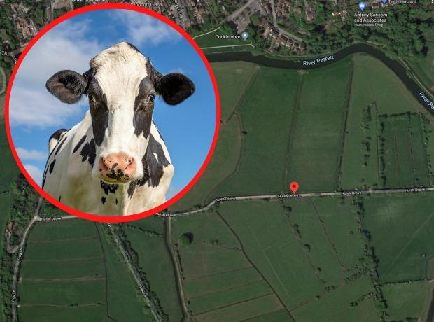 The cow was rescued from Huish Drove, Langport. Picture: Getty/Google