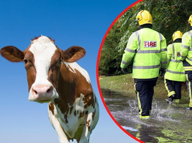 A second cow in two days has needed rescuing from a river