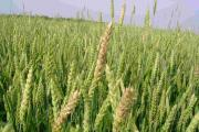 UK wheat production is under threat