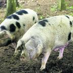 South West Farmer: Gloucester Old Spot pigs on the farm