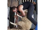 Top UK competitors will be taking part in the shearing competition
