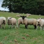 South West Farmer: The sheep flock at Windsor Farm is predominately Suffolk-cross Mules and Welsh Mules. ..PICTURE: Debbie James.... (8675470)