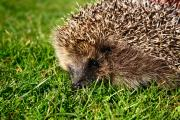 KFC has agreed to alter its Krushems packaging to protect hedgehogs