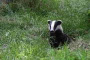 New research suggests frequent testing of cattle would be more effective in controlling bovine TB than shooting badgers.