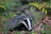 The FUW urging farmers and members of the public to report badgers killed by vehicles to the Animal and Plant Health Agency (APHA)