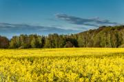 Five per cent of the oilseed rape crop will be treated with neonicotinoids