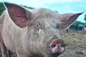 Only 10 per cent of national pig herd covered by disease charter