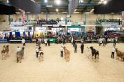 Interbreed pairs and heifer championships showcase the best of future