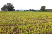 Poor maize crops are being abandoned