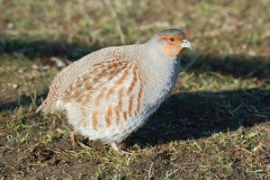 The grey partridge votes yes to 'best practice' predator control